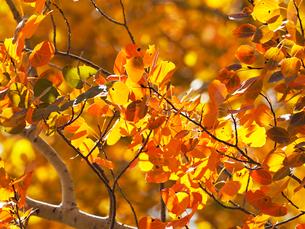 紅葉で黄色とオレンジ色に染まるアスペンの木の写真素材 [FYI03395387]