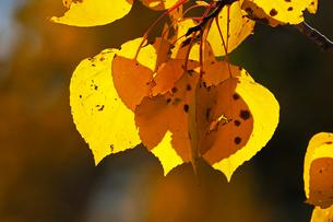 山岳部で秋を告げるアスペンの黄葉の写真素材 [FYI03395477]
