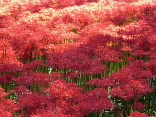 美しい曼珠沙華の写真素材 [FYI03395620]
