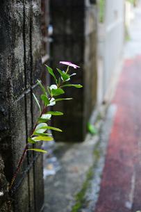 路地裏に咲く日日草の写真素材 [FYI03395682]
