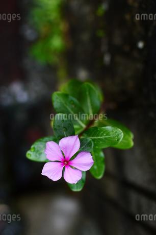路地裏に咲く日日草の写真素材 [FYI03395699]