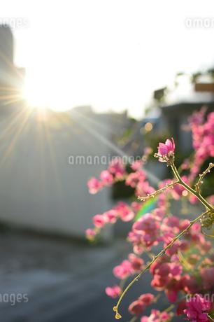 夕日の逆光を受けるアサヒカズラの花の写真素材 [FYI03395718]