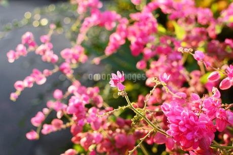 ピンク色のアサヒカズラの花の写真素材 [FYI03395720]