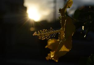 夕日の逆光を受ける黄色いハイビスカスの花の写真素材 [FYI03395721]