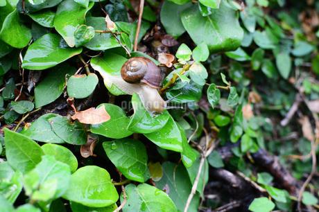 雨で湿った緑を這うカタツムリの写真素材 [FYI03395743]