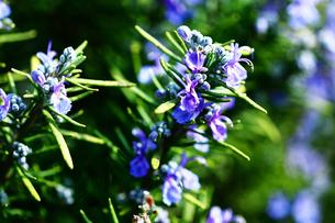 ハーブ・ローズマリーの花の写真素材 [FYI03396218]