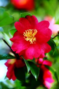 ハルサザンカの花の写真素材 [FYI03396219]