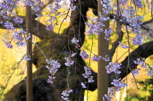 4月 瀧倉神社の権現桜  -大和の春-の写真素材 [FYI03396308]