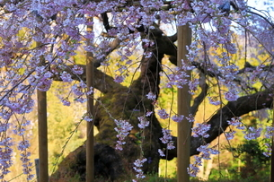 4月 瀧倉神社の権現桜  -大和の春-の写真素材 [FYI03396309]