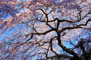 4月 瀧倉神社の権現桜  -大和の春-の写真素材 [FYI03396310]