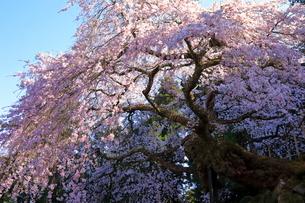 4月 瀧倉神社の権現桜  -大和の春-の写真素材 [FYI03396311]