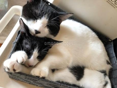 兄弟猫の昼寝の写真素材 [FYI03396360]