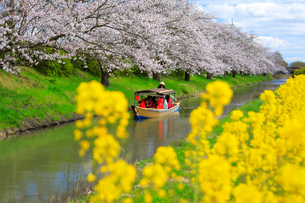 4月 桜咲く近江八幡水郷めぐりの写真素材 [FYI03396416]