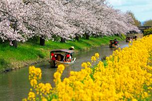4月 桜咲く近江八幡水郷めぐりの写真素材 [FYI03396418]