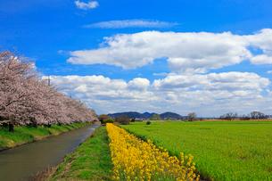 4月 桜咲く近江八幡水郷めぐりの写真素材 [FYI03396419]