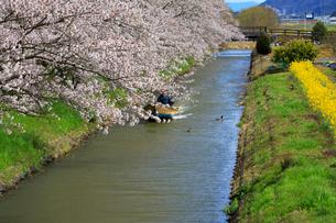 4月 桜咲く近江八幡水郷めぐりの写真素材 [FYI03396420]