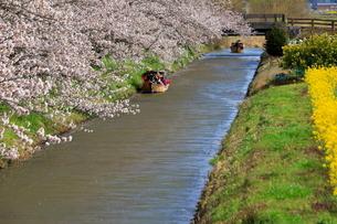 4月 桜咲く近江八幡水郷めぐりの写真素材 [FYI03396421]