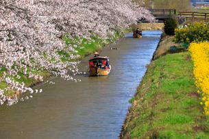 4月 桜咲く近江八幡水郷めぐりの写真素材 [FYI03396422]