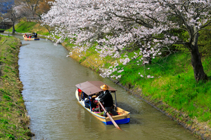 4月 桜咲く近江八幡水郷めぐりの写真素材 [FYI03396423]