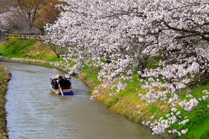 4月 桜咲く近江八幡水郷めぐりの写真素材 [FYI03396425]