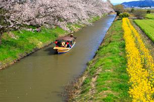4月 桜咲く近江八幡水郷めぐりの写真素材 [FYI03396426]