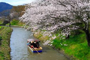 4月 桜咲く近江八幡水郷めぐりの写真素材 [FYI03396427]