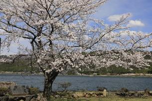 4月 サクラの余呉湖の写真素材 [FYI03396440]