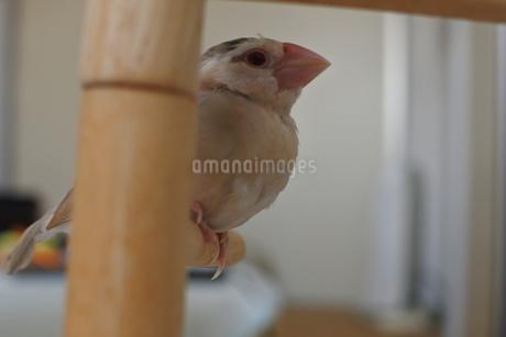止まり木の文鳥の写真素材 [FYI03396565]