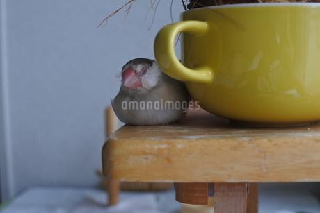 文鳥とカップの写真素材 [FYI03396571]