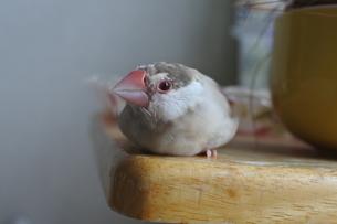 みがまえる文鳥の写真素材 [FYI03396573]