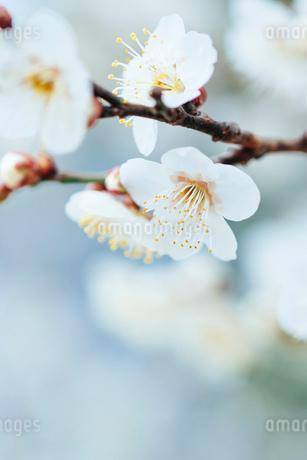 梅の花のクローズアップの写真素材 [FYI03396914]