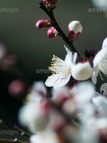 梅の花のクローズアップの写真素材 [FYI03396915]