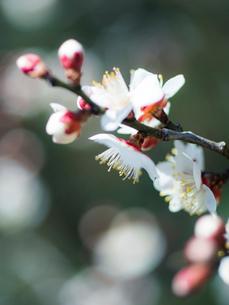 梅の花のクローズアップの写真素材 [FYI03396916]