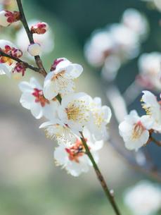 梅の花のクローズアップの写真素材 [FYI03396917]