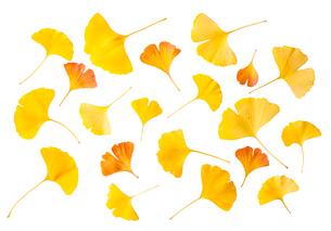 黄色とオレンジ色の銀杏の葉の写真素材 [FYI03397036]