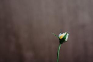 黄色いバラのつぼみの写真素材 [FYI03397154]