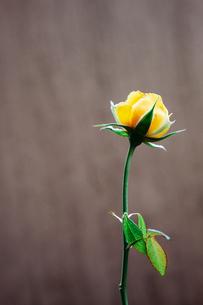 黄色いバラの写真素材 [FYI03397156]