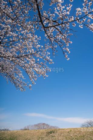 土手に咲く桜と青空の写真素材 [FYI03397216]