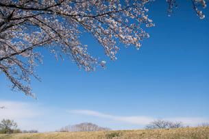 土手に咲く桜と青空の写真素材 [FYI03397217]