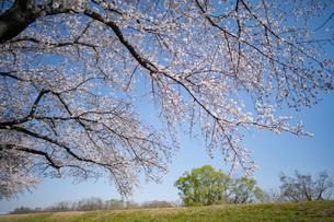 土手に咲く桜と青空の写真素材 [FYI03397220]
