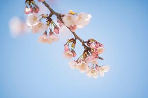 青空背景の桜の花のクローズアップの写真素材 [FYI03397291]