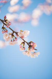 青空背景の桜の花のクローズアップの写真素材 [FYI03397292]