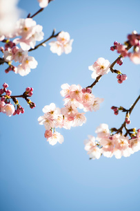 青空背景の桜の花のクローズアップの写真素材 [FYI03397293]