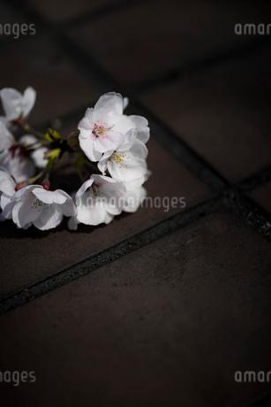 石畳に落ちた桜の花の房の写真素材 [FYI03397294]