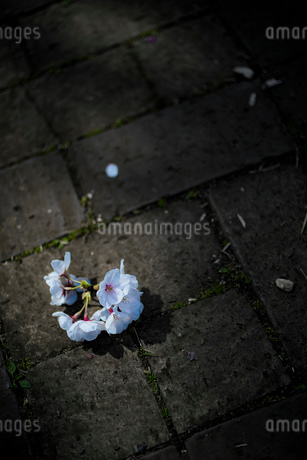 石畳に落ちた桜の花の房の写真素材 [FYI03397296]
