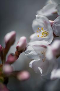 桜の花のクローズアップの写真素材 [FYI03397297]