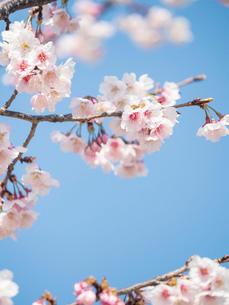 青空背景の桜の花のクローズアップの写真素材 [FYI03397298]