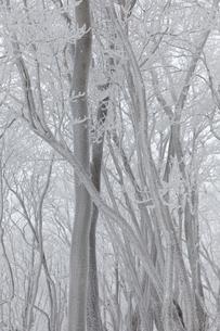 凍てつく霧氷(三峰山)の写真素材 [FYI03397312]