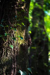 木に絡まる蔦の写真素材 [FYI03397347]