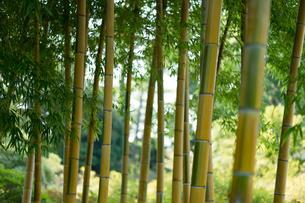 竹林の写真素材 [FYI03397380]